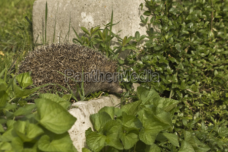 hedgehog on a discovery search
