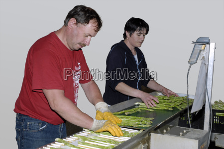 asparagus processing at the producer