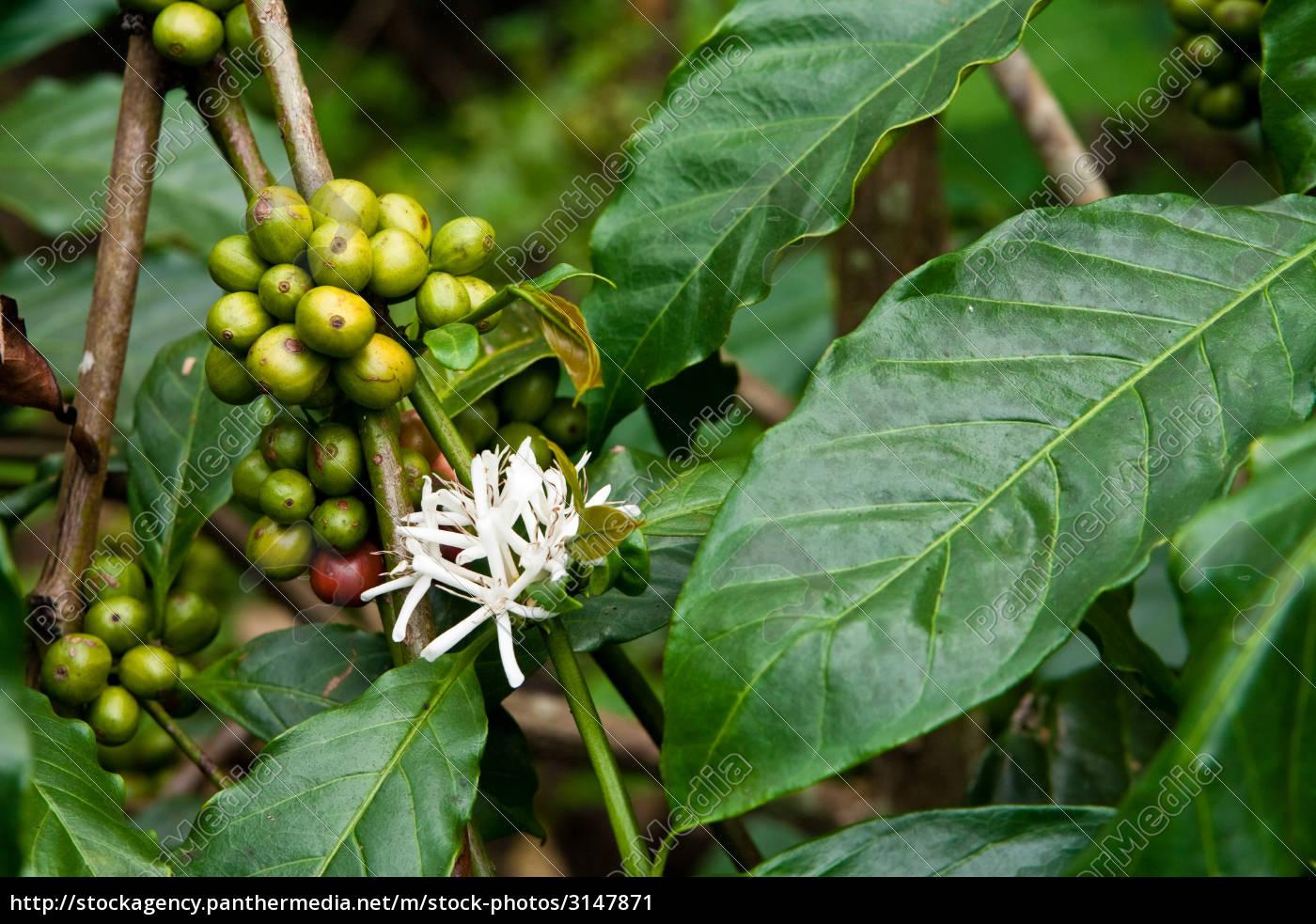 coffee, plant - 3147871