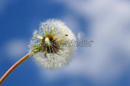dandelions in the sky with pollen
