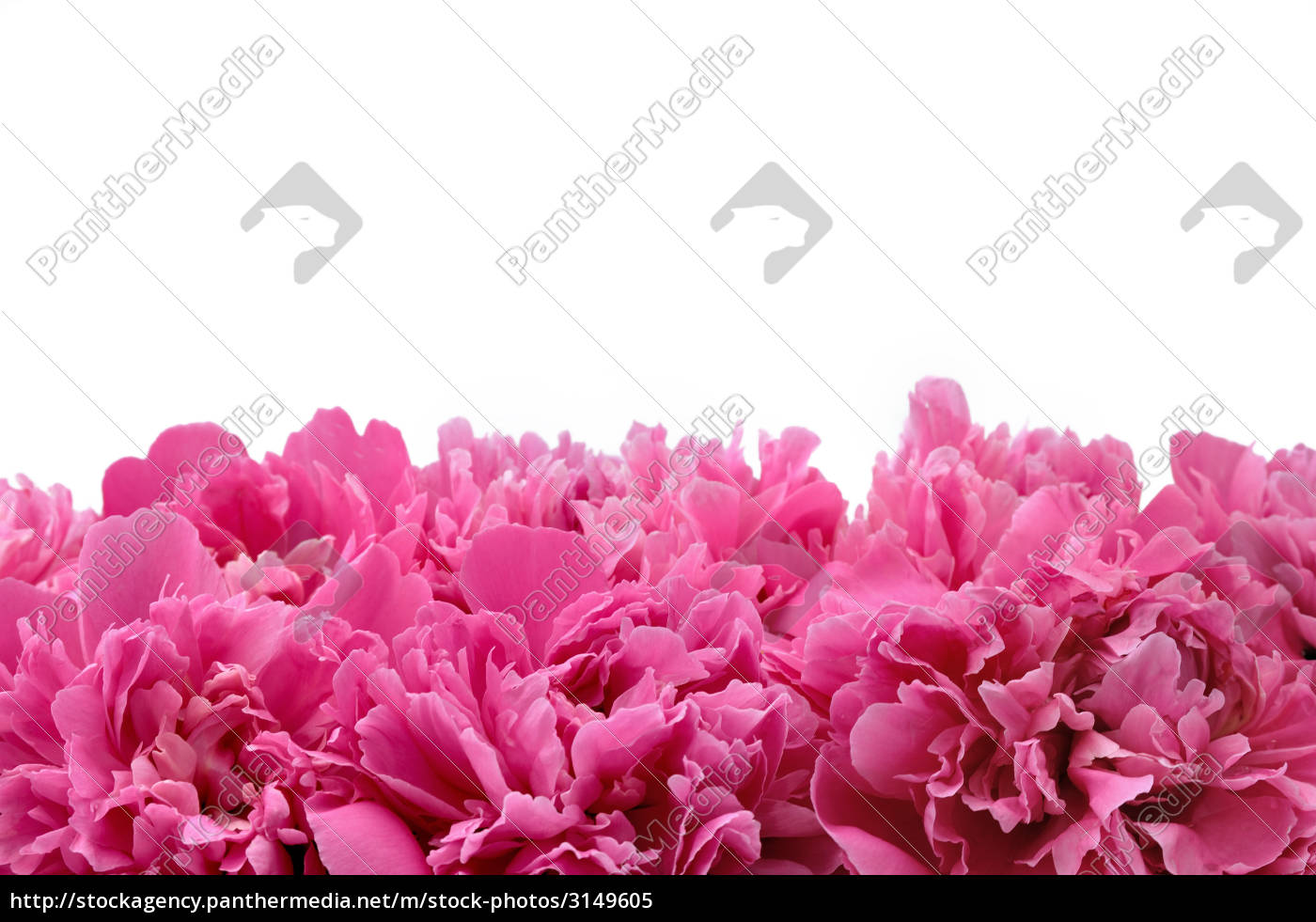 peony, over, white, background - 3149605