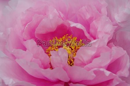garden flower plant peony bloom blossom