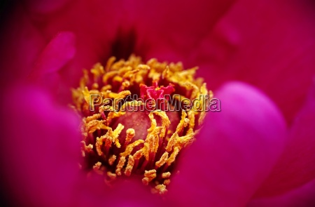 peony in red with yellow pistil
