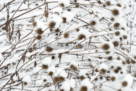 thistle, in, the, snow - 3151333