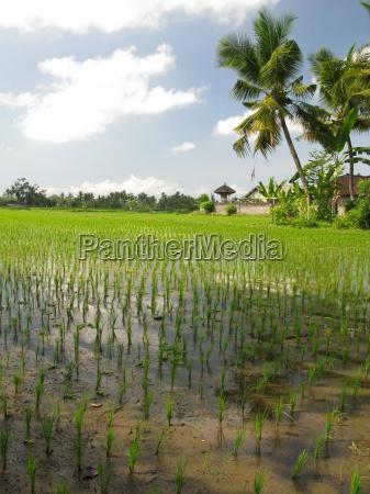 rice, field - 3154595