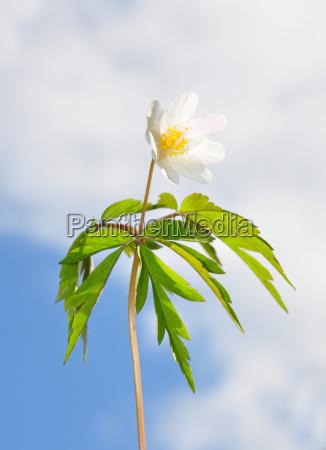 windflower - 3154607