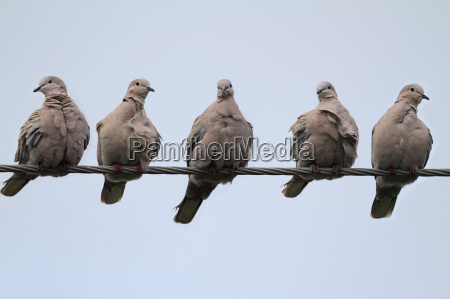 doves, on, a, wire - 3155859