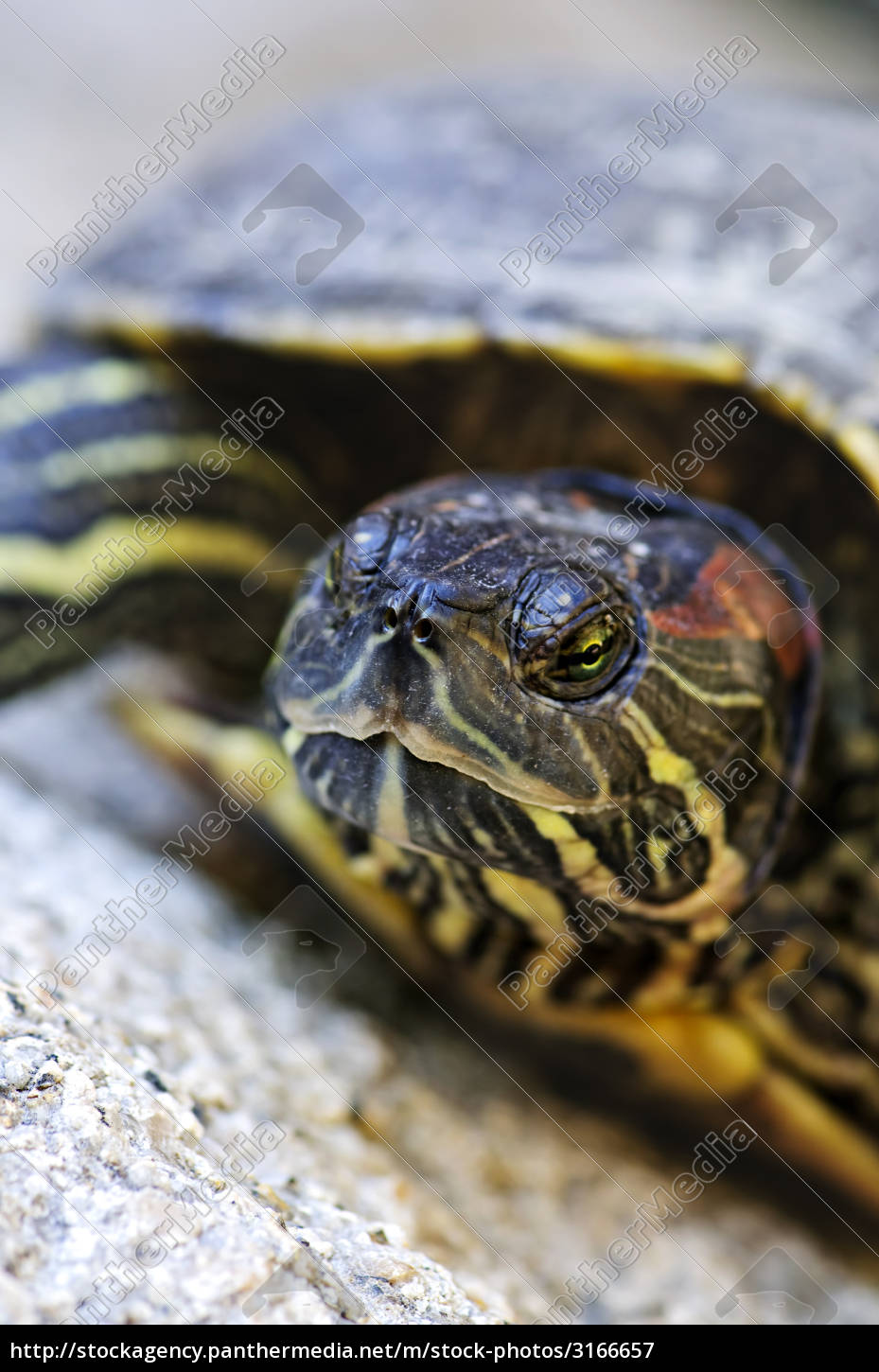 red, eared, slider, turtle - 3166657