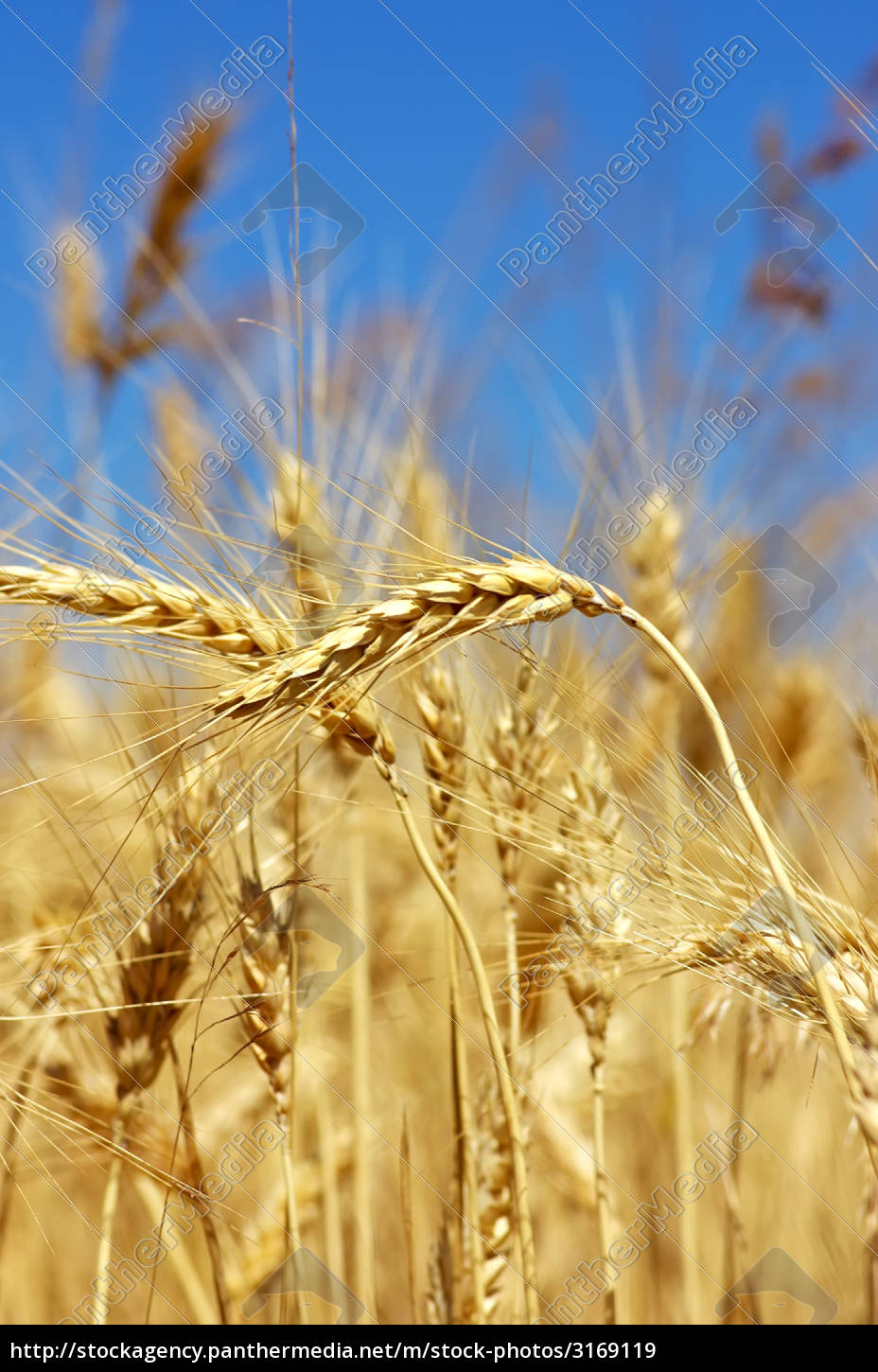agricultural, agriculture, farming, spike, nutrition, cultivate - 3169119