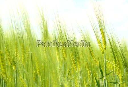 organic green spring grains