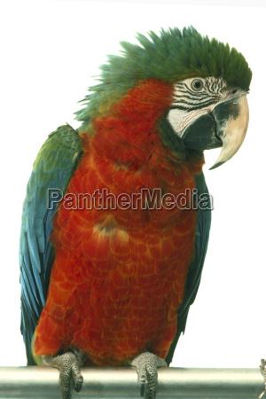 parrot, ara, hybridara - 3178967