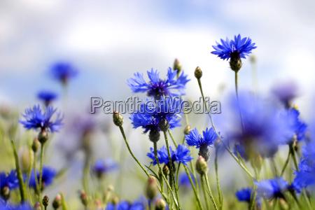 cornflower - 3185147