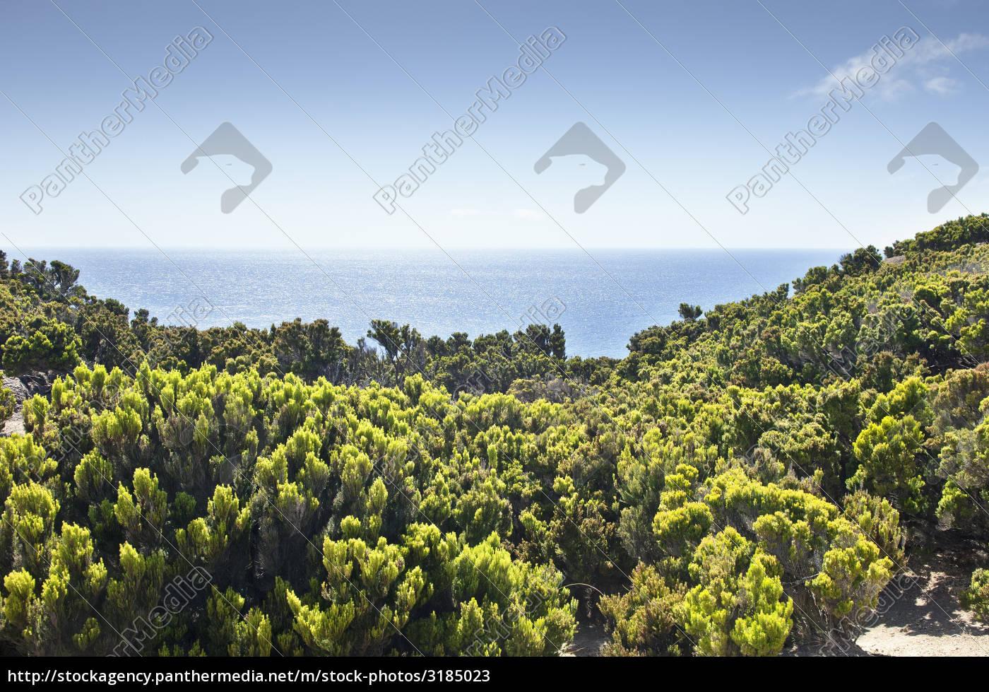 junipers, in, faial, coast - 3185023