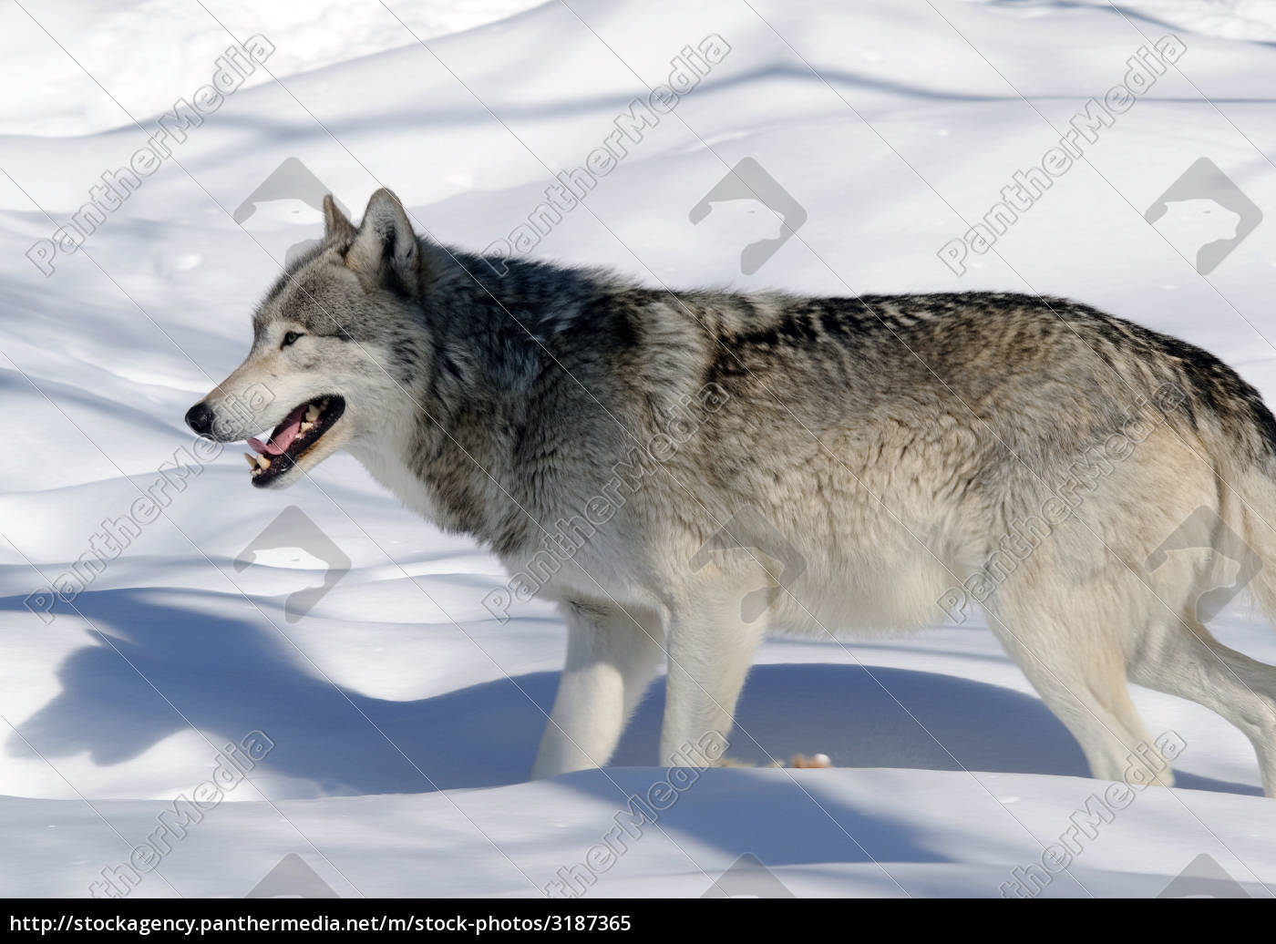gray, wolf - 3187365