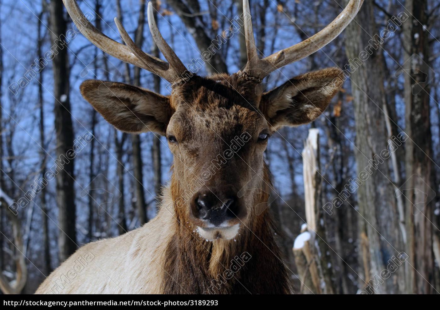 elk - 3189293
