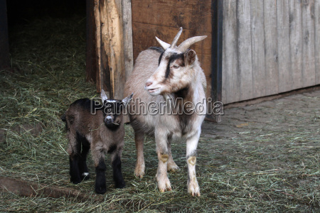 goat, with, kids - 3190067