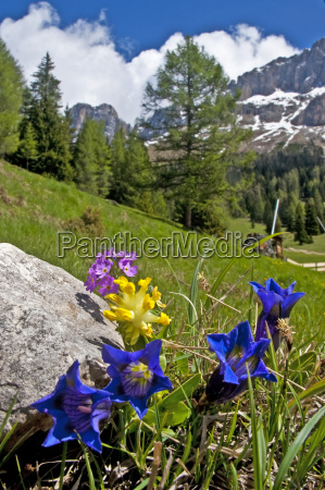mountain flowers in south tyrol