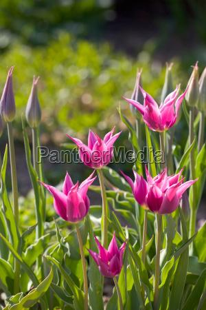 lila tulpen im freien im garten