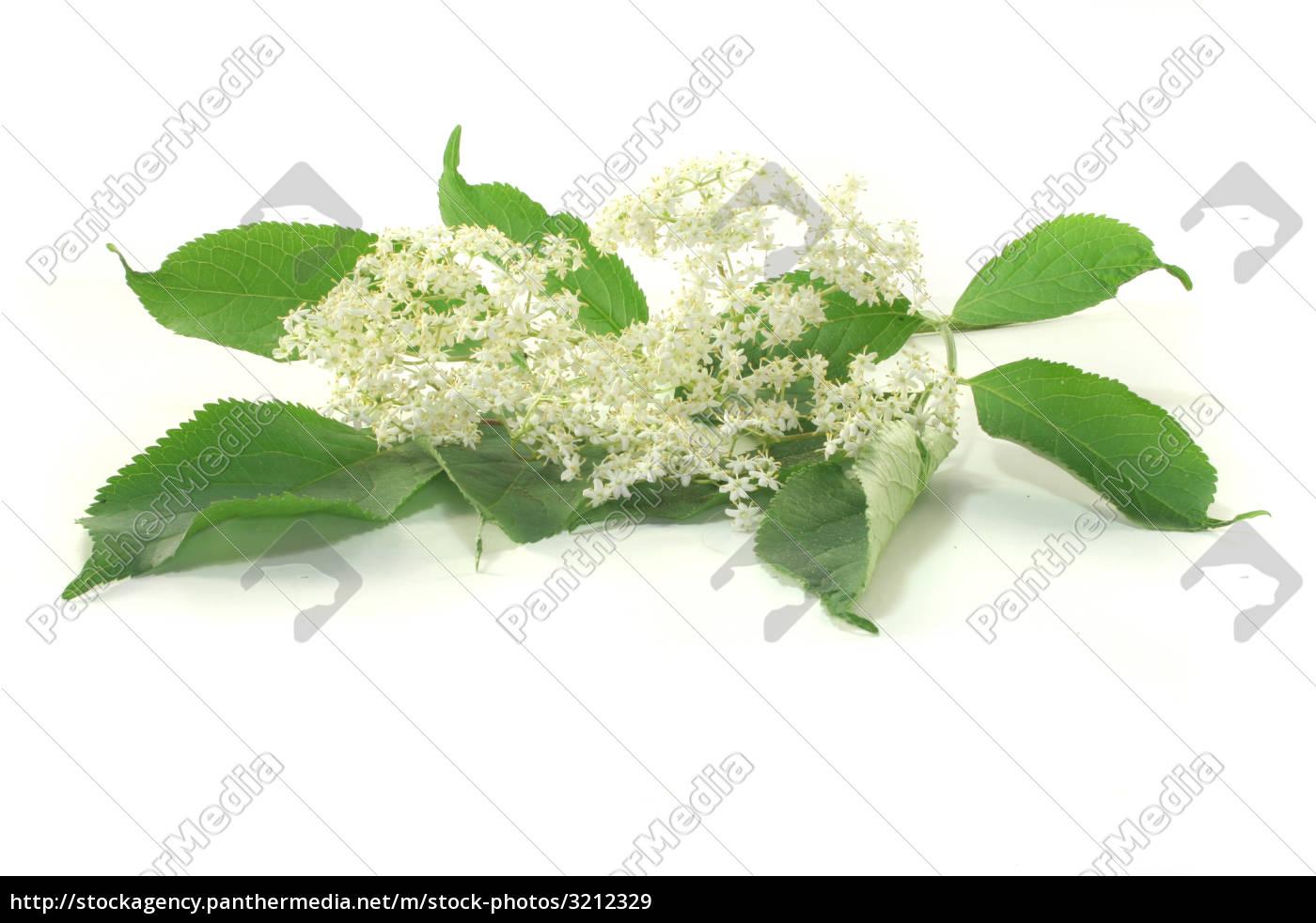 elderflower - 3212329