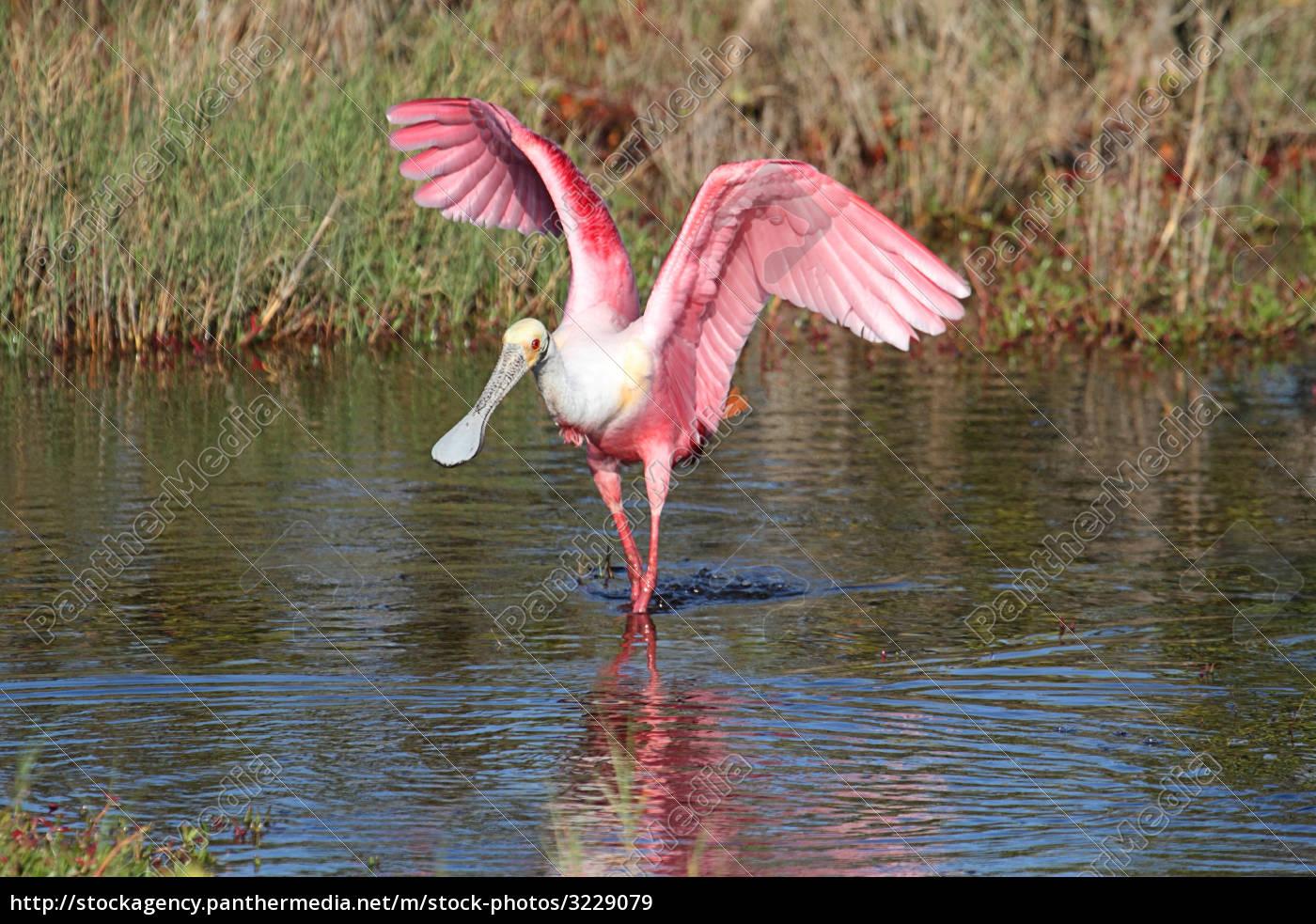 roseate, spoonbill, hunting, in, water - 3229079