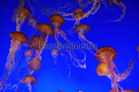 feuerqualle, medusa - 3231625