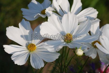 white, cosmos, (cosmos, bipinna.) - 3233429