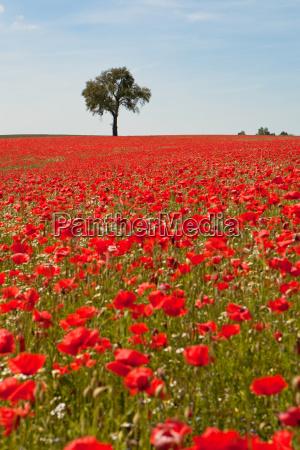 poppy - 3235473