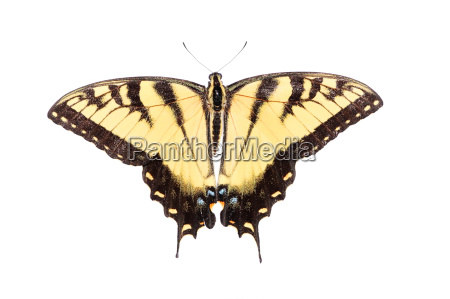 isolated, tiger, swallowtail, butterfly - 3239073
