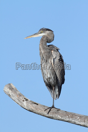 great, blue, heron, (ardea, herodias) - 3241917