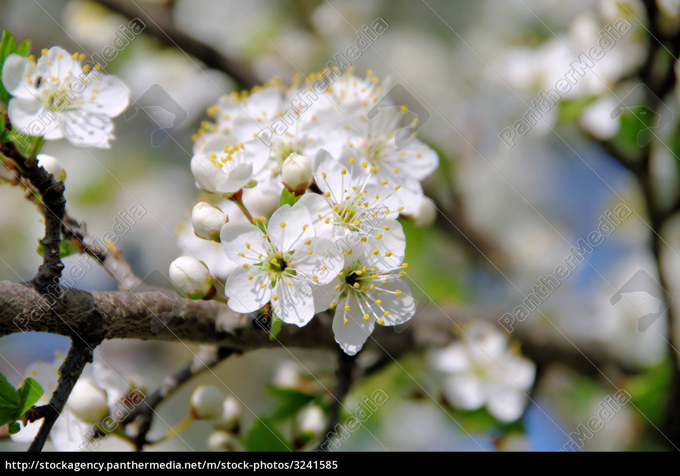 pflaumenbaumbluete, -, plum, blossom, 72 - 3241585