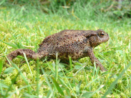 common, toad - 3244821