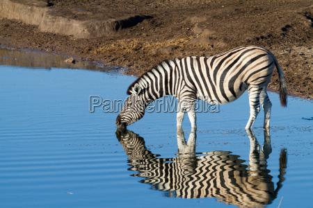 zebras, drinken - 3254663