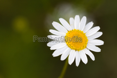 young, daisies, in, the, summer, close-up - 3256423