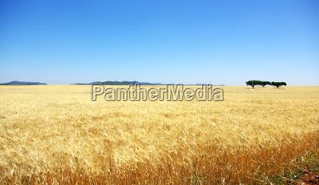 yellow, wheat, field. - 3261047