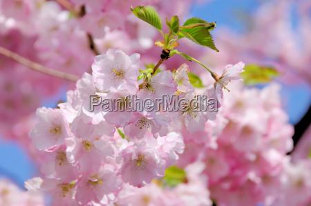 cherry blossom pink cherry blossom