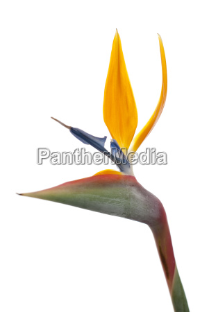 bird, of, paradise, flower, (strelitzia, reginae) - 3264337