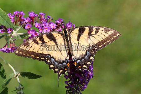 female, tiger, swallowtail, (papilio, glaucas) - 3266803