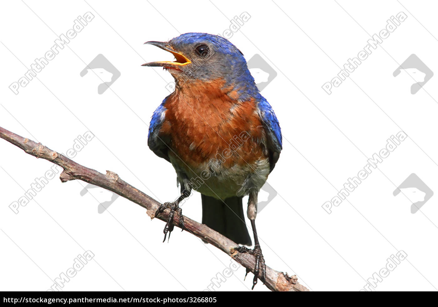 isolated, bluebird, on, a, stick - 3266805