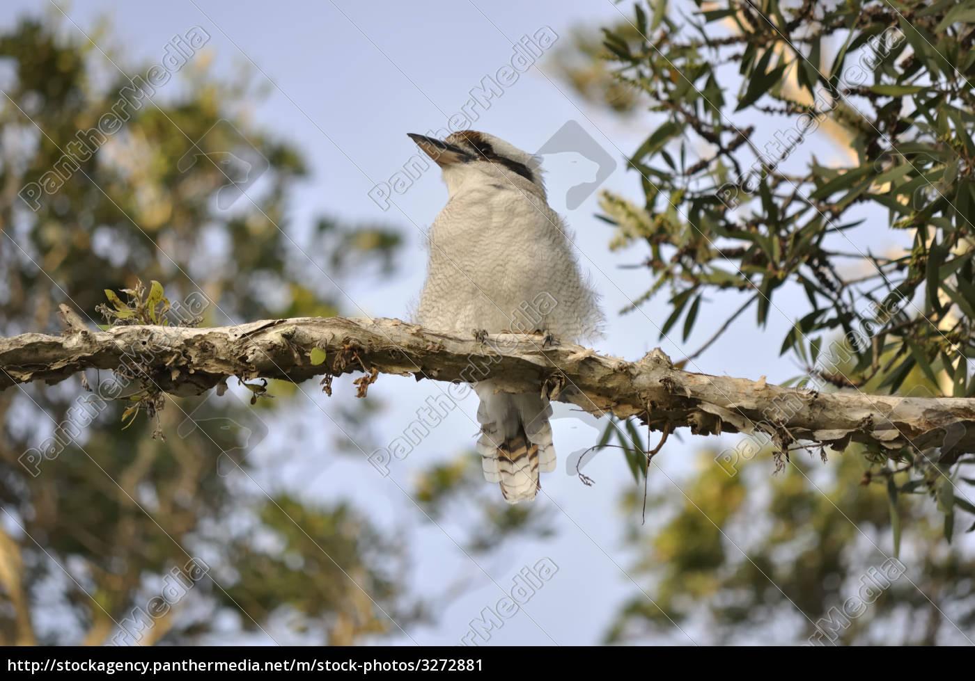 kookuburra, on, a, paper, bark, branch - 3272881