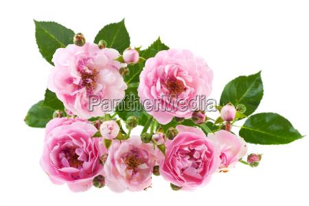 verbluehende rosen auf weiss isoliert