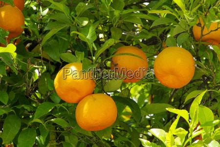 orange on the tree orange