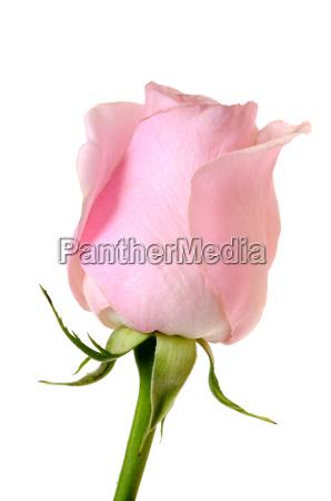 pink, rose - 3296329