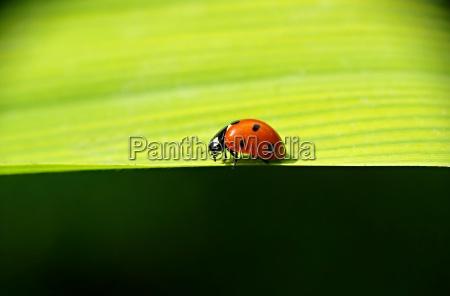 ladybug wanders along the leaf edge
