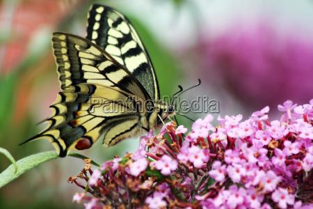 swallowtail on buddleia