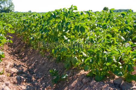 field planted with potatoes