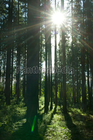 rays in a forest in summer