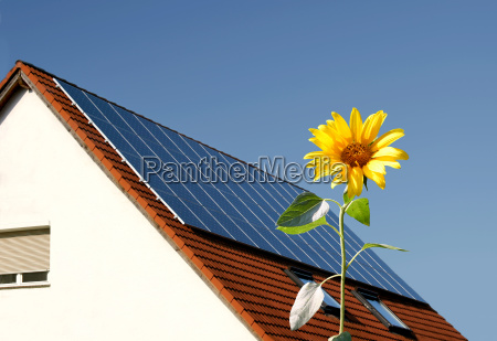 sunflower against solar panels on roof