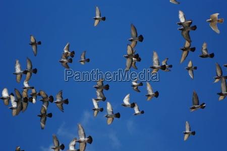 schar doves in the sky in