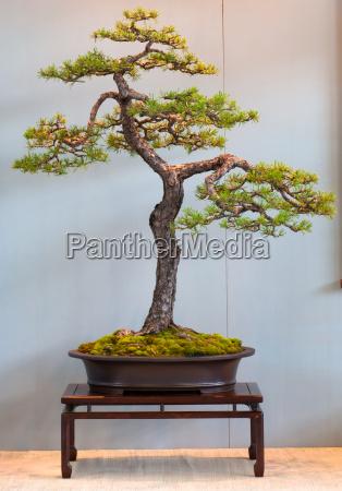scots pine as bonsai