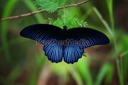 butterfly in thailand